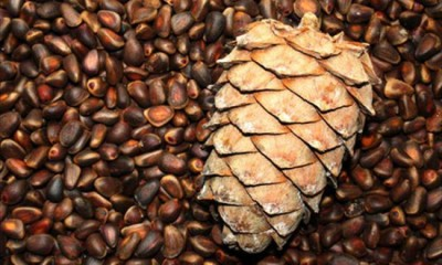 Повышенное газообразование кишечника можно лечить кедровыми и грецкими орешками