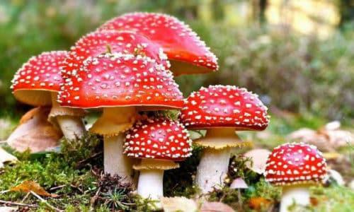 Наиболее характерны опаснейшие отравления ядовитыми грибами