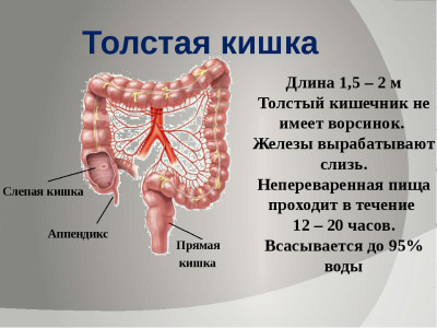 В толстом кишечнике происходит всасывание жидкости и оформление пищи в каловые массы