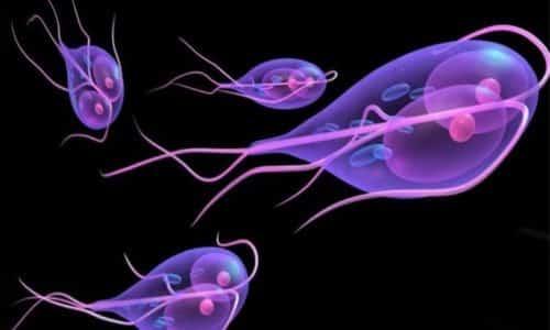 Другая причина развития бульбита может скрываться в переносимом лямблиозе