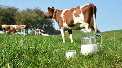 Коровье молоко лучше временно не давать грудничку