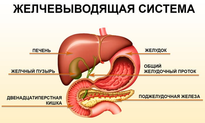 В органы пищеварительного процесса выходят протоки пищеварительных желез - из печени - желчевыводящей, поджелудочной