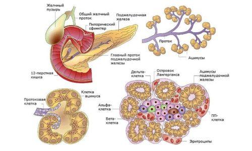 Часть органа это островки Лангерганса. Образование данных участков происходит за счет инсулиноцитов. Именно такие клетки принимают активное участие в выработке гормонов, отвечающих за обмен углеводов в организме