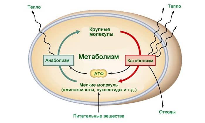 Боль в животе может появиться, когда нарушается клеточный метаболизм