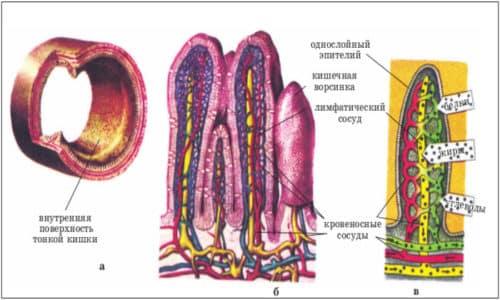 Всасывание происходит на поверхности ворсинок, при этом аминокислоты и моносахариды попадают в кровеносное русло, а липиды - в лимфатическое