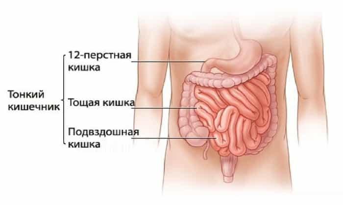 Строение стенки подвздошной кишки соответствует ее функции: переваривать и всасывать питательные вещества