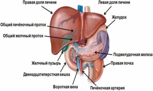 Одним из крупных органов пищеварительной системы является поджелудочная железа, размеры (норма) у взрослых и детей существенно отличаются