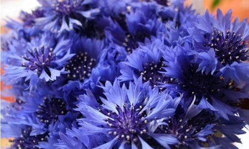 Цветы василька синего заваривают в кипятке, настаивают 1-1,5 часа. Полученный напиток употребляют дважды в день