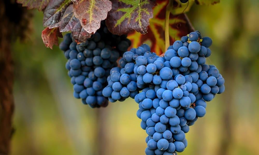 В синем винограде присутствует большое количество кислот, которые способствуют растворению холестериновых бляшек