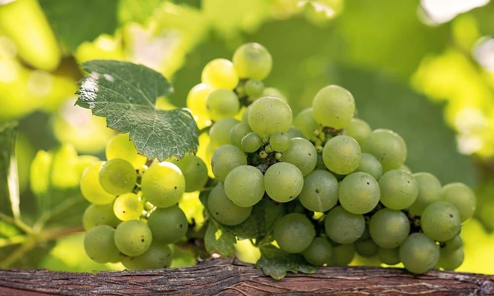 Зеленый виноград позволяет организму эффективнее бороться с бактериями и вирусами