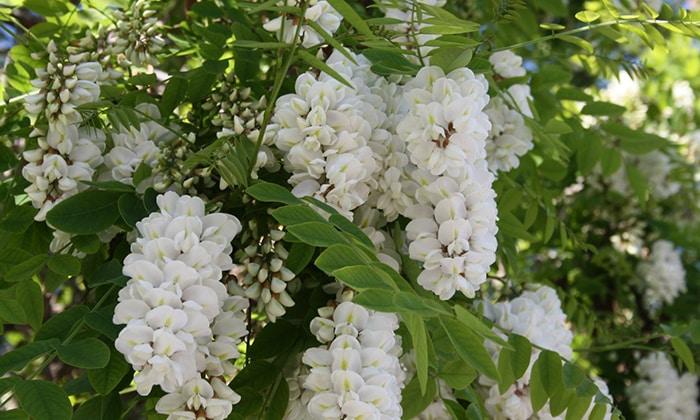 Акация. 1 стакан цветков заливают 0,5 л этилового спирта, разбавленного водой в соотношении 1:1. Средство оставляют на 7 дней в темном месте. Процедив, принимают по 1 ст. л. 2 раза в день