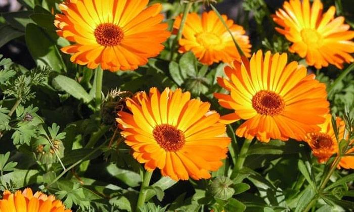 Календула. Берут по 1 ч. л. цветков растения и чистотела. Заливают стаканом кипящей воды и настаивают 4-8 часов. Принимают по 50 мл за 20 минут до еды