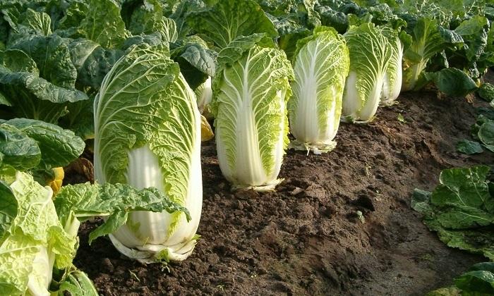Насыщенная витаминами, белками, минералами и пектинами, пекинская капуста отлично усваивается организмом