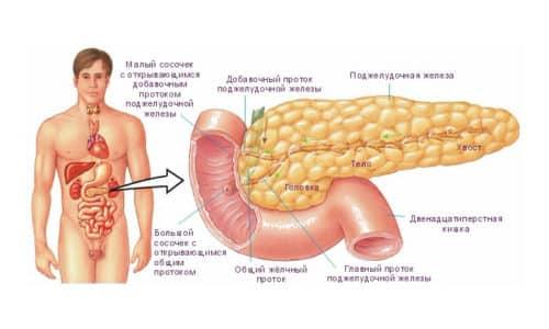 Поджелудочная железа - орган пищеварения, который находится рядом с желудком