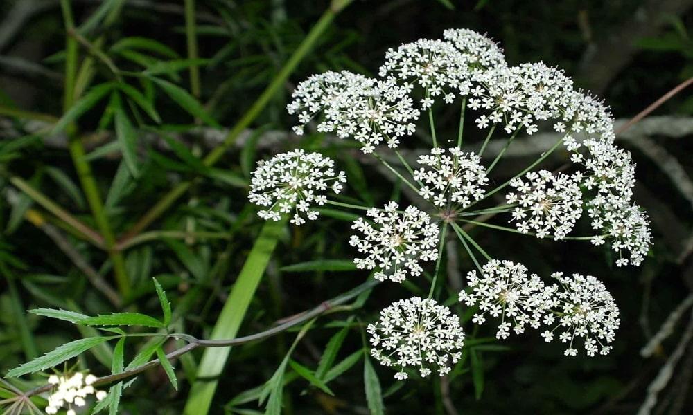 Болиголов применяется как обезболивающее и противоопухолевое средство в виде спиртовой настойки цветов и семян