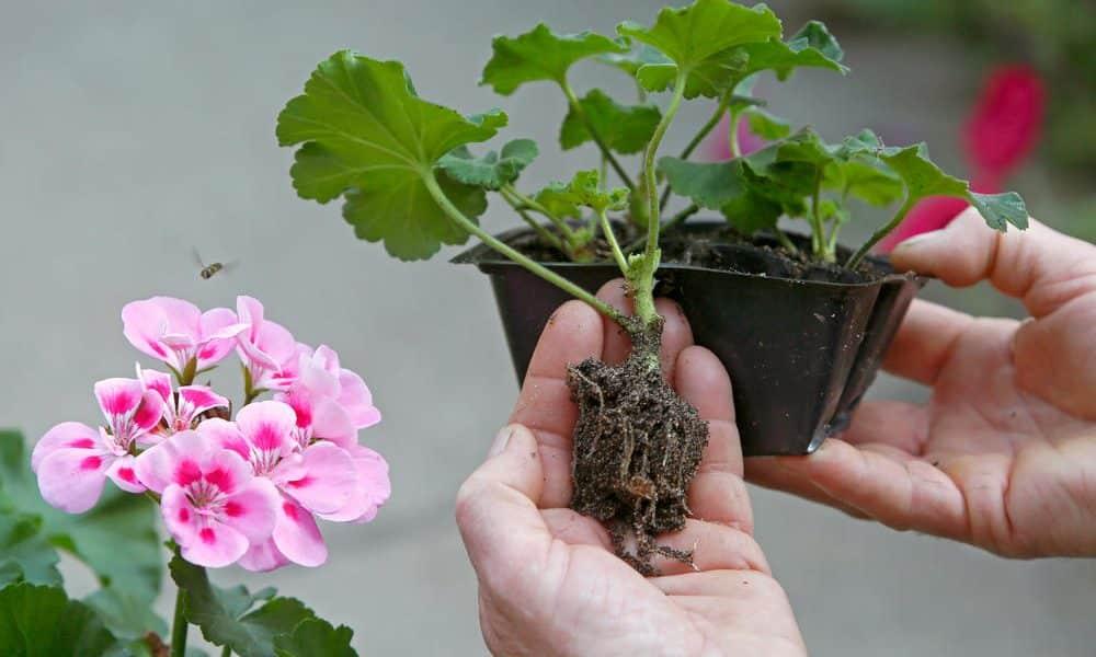 Для борьбы со злокачественными опухолями используются корни герани