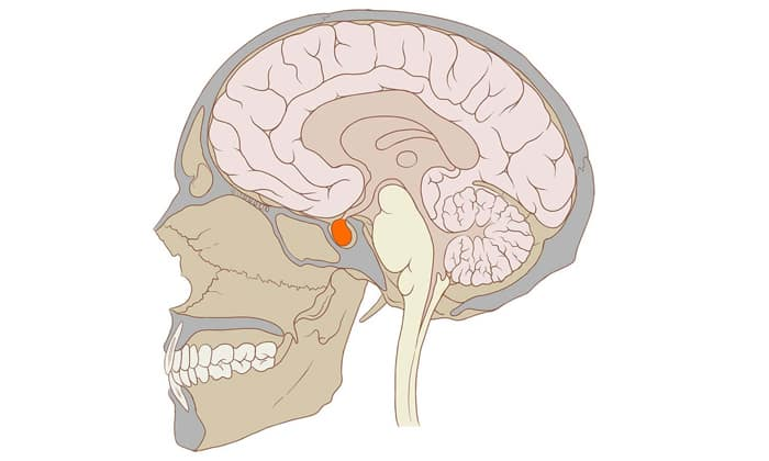 Домперидон также влияет на клетки гипофиза, заставляя железу более интенсивно продуцировать гормон пролактин