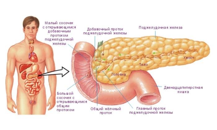 Здоровая поджелудочная железа взрослого человека имеет длину от 14 до 22 см и вес 70-80 г