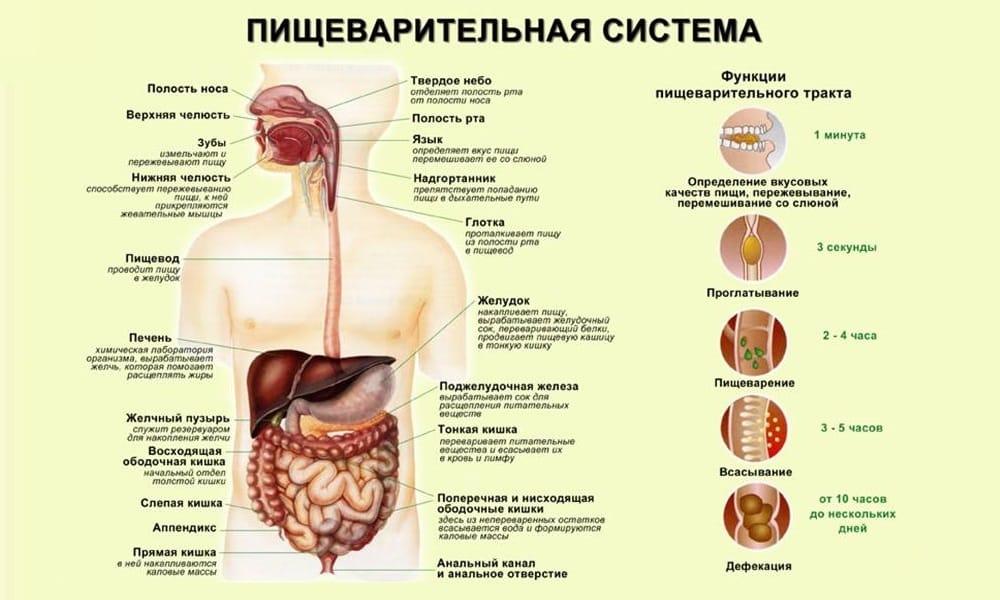 Препарат ускоряет опорожнение желудка и способствует более быстрому продвижению переваренной еды по кишечнику, не вызывая при этом понос