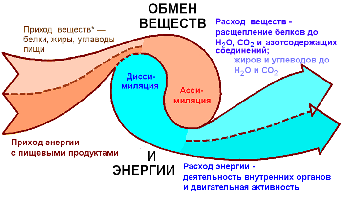 Принимает активное участие в обмене веществ