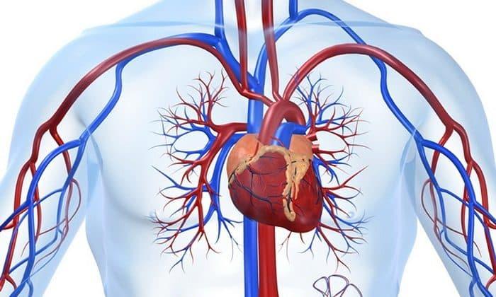Л-карнитин тартрат способствует защите сердечно-сосудистой системы