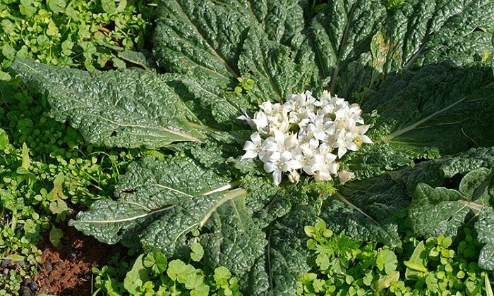 Трава мандрагоры - излечивает язву, холецистопатию, помогает вернуть нормальную работу переполненного желудка