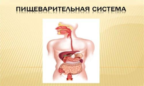 Благодаря панкреатину быстро восстанавливаются органы пищеварительной системы, и усваиваются тяжелые продукты питания
